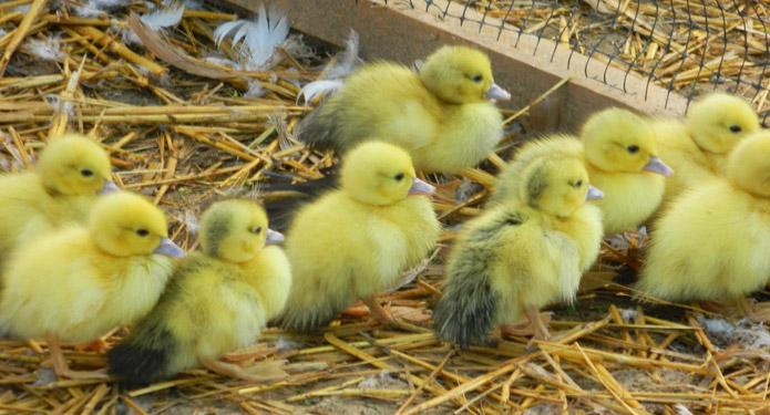 http://centrealgarve.org/wp-content/uploads/2014/07/chicks.jpg