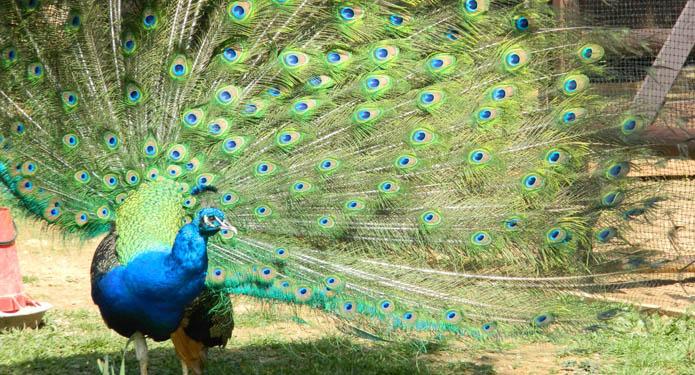 http://centrealgarve.org/wp-content/uploads/2014/07/peacock.jpg
